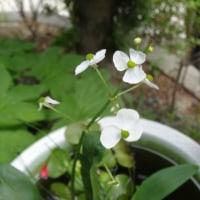 水生植物(ナガバオモダカ)が咲いた!