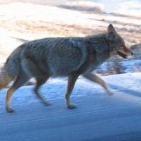 イエロストーン公園のコヨーテとオオカミに思う