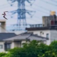 25/Jun 丹沢大山の霧とコアジサシとナツハギ