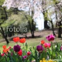 fotolia「チューリップと桜」