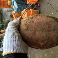 あっと驚く巨大芋