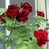 猫額庭のバラ