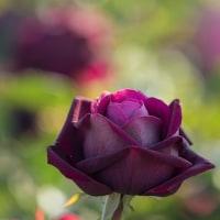蜂が峰   薔薇