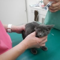 子猫の言ちゃん、咲ちゃんの風邪治療中