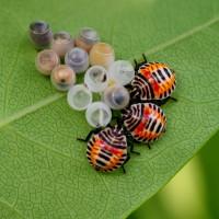 キマダラカメムシの成虫と幼虫