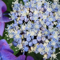 紫陽花リベンジ
