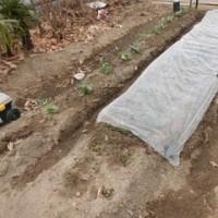 耕作放棄地からバラ園へ 2017.2.19