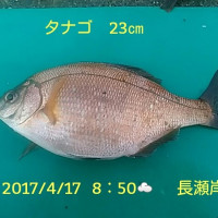 笑転爺の釣行記 4月17日☁☂ 長瀬・久里浜