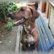 プロットハウンド犬