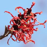 アカバナマンサクも咲いていた