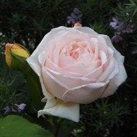 しっとりとバラの香り漂う