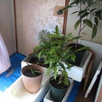 10月15日・植物の移動・・16日サトイモ初掘りなど。