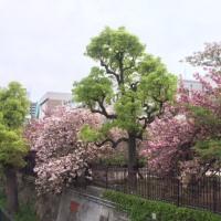 桜 八重桜編