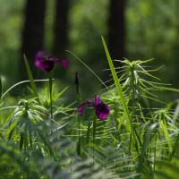 花菖蒲が咲き始めました:仙界の山荘