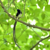 今日の野鳥・・・サンコウチョウ 【その1】・・・今年も。。