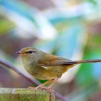 春を告げる鳥ウグイス