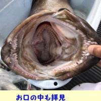 5/24の釣果~ クエ2本浮上~