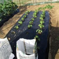 野菜の芽掻き・支柱立て