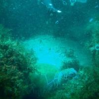 北川カジカキでアオウミガメ