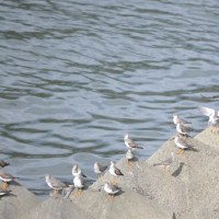 球磨川のソリハシシギ