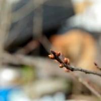 陽光桜 2.25 花芽