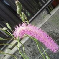 グロリオサ・カライトソウ・貝殻草など