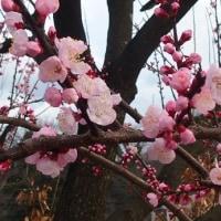 散歩道に咲いたコブシ、杏の花
