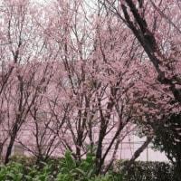 雨の日はメモを書いて、常備菜つくって、キキの食餌を傘さして買い出しにでたら雨に濡れた桜に会いました