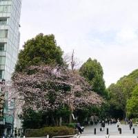 はやくも上野公園で桜がチラホラと 其の1