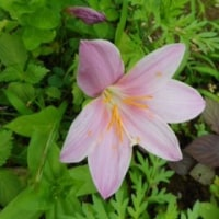 梅雨のお花