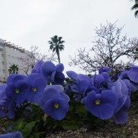 JR宇和島駅前のパンジーと杏子の花と淡いピンクの椿
