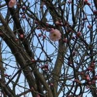 開花が遅い梅