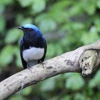 水辺の鳥 オオルリ オス メス 目的の鳥には出会えず撃沈
