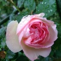 薔薇の香り~