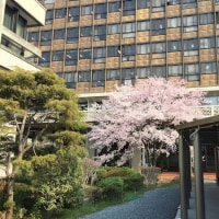 岡山県庁の醍醐桜の開花状況