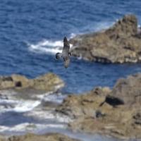 磯や海面の上を飛ぶハヤブサはカッコイイ!