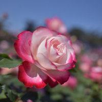 薔薇撮りの楽しさ