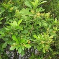 ミャンマー タナカの木(花)
