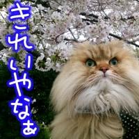 モモタロウの大冒険 お花見編 Part6 後編