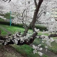強い雨が降り、もう桜が満開を越えてしまいました