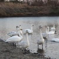 白鳥に逢いに行ってきました。