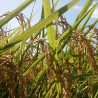 あいがも米の稲刈りまでもうちょっと!