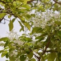 フラワーパーク江南のヒトツバタゴ(なんじゃもんじゃの木)