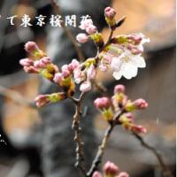 ソメイヨシノ 開花の目安にしているソメイヨシノに5輪の花・ 千代田区の靖国神社