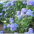 南信州の「紫陽花寺」