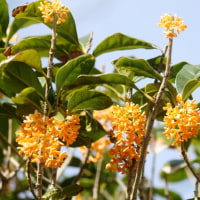 金木犀(キンモクセイ)が咲く季節