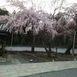 続・醍醐寺の桜の下で