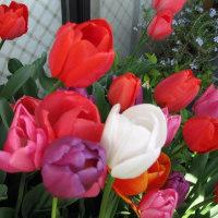 咲いた咲いたチューリップの花が・・・