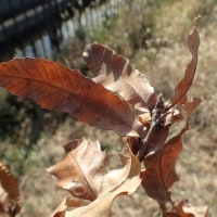 落ちない葉