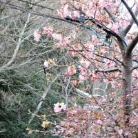 河津桜のこと